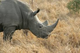 Botswana: Rhino Poaching Rises At An Alarming Rate In Despite Government Efforts